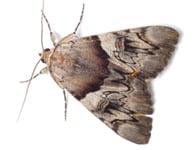 Pest Moths