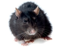 Pest Rats
