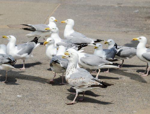 Seagull breeding season is here again!