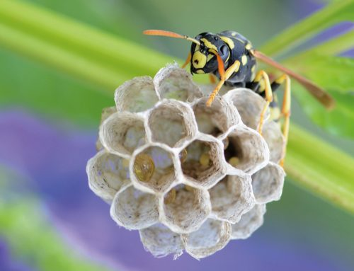 Queen Wasp Season